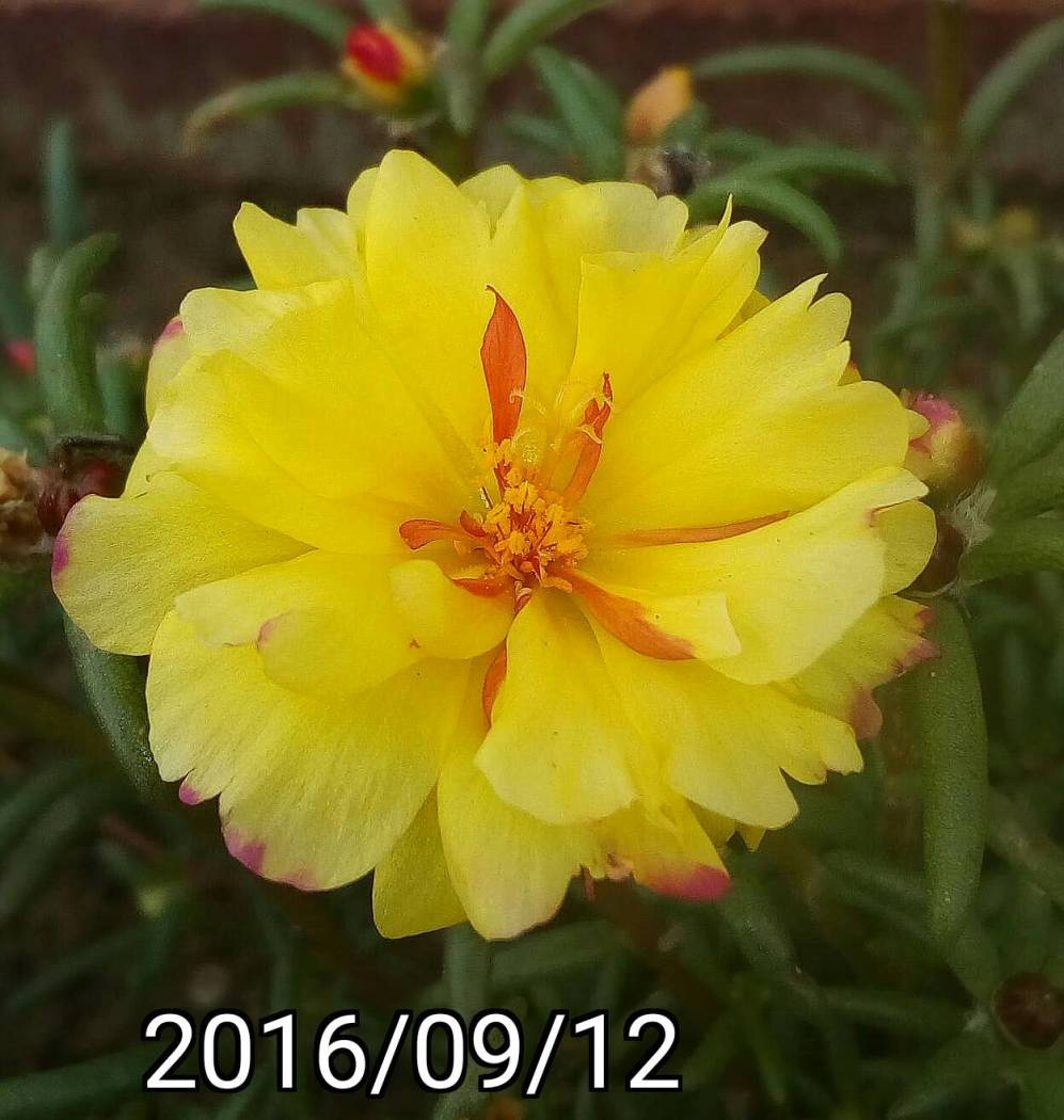 黃紅色複瓣松葉牡丹 yellow red multi-petalled Portulaca pilosa, kiss-me-quick, hairy pigweed